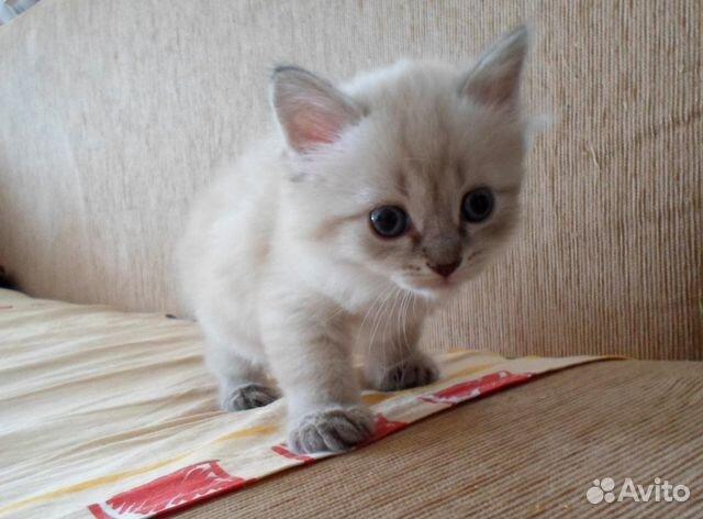 тайский котенок 1 месяц фото