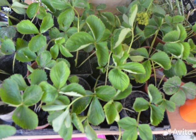 Размножение клубники усами | Osadovod - Все о садe