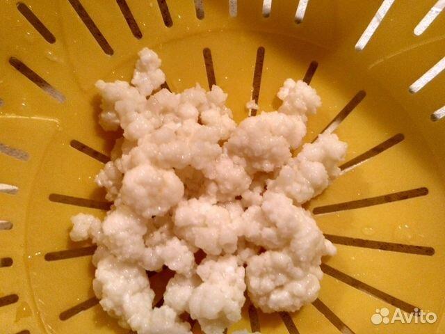 Тибетский молочный гриб кефирный гриб Полезные