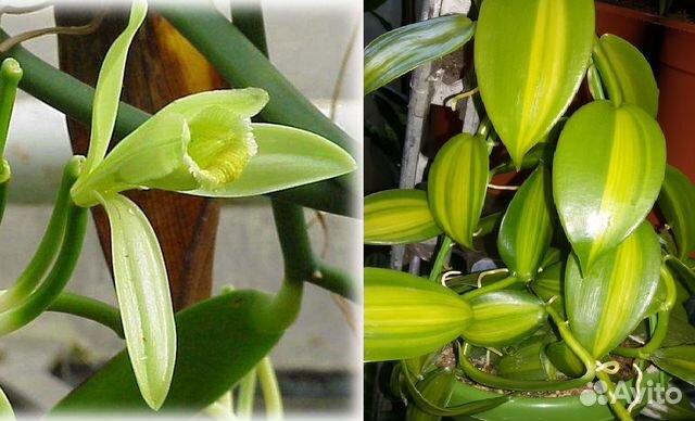 Ванильная орхидея в домашних условиях уход 636