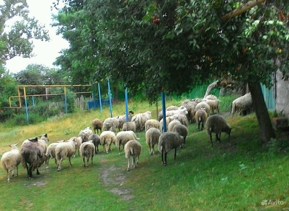 Овцы в Курчатове - фотография № 2