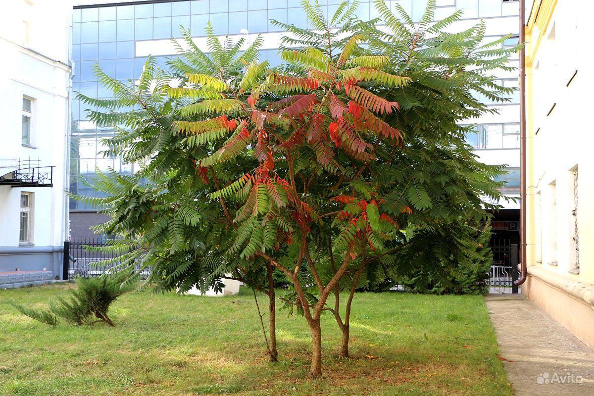 Сумах или уксусное дерево купить на Зозу.ру - фотография № 2