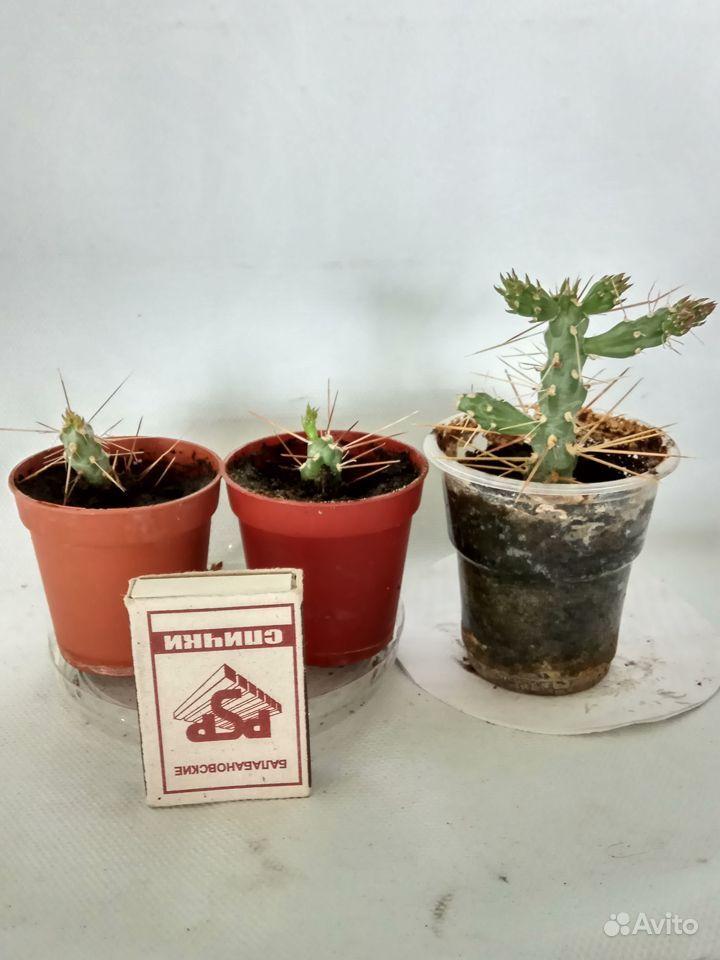 Комнатные растения - кактусы, смотрите и другие ра купить на Зозу.ру - фотография № 1