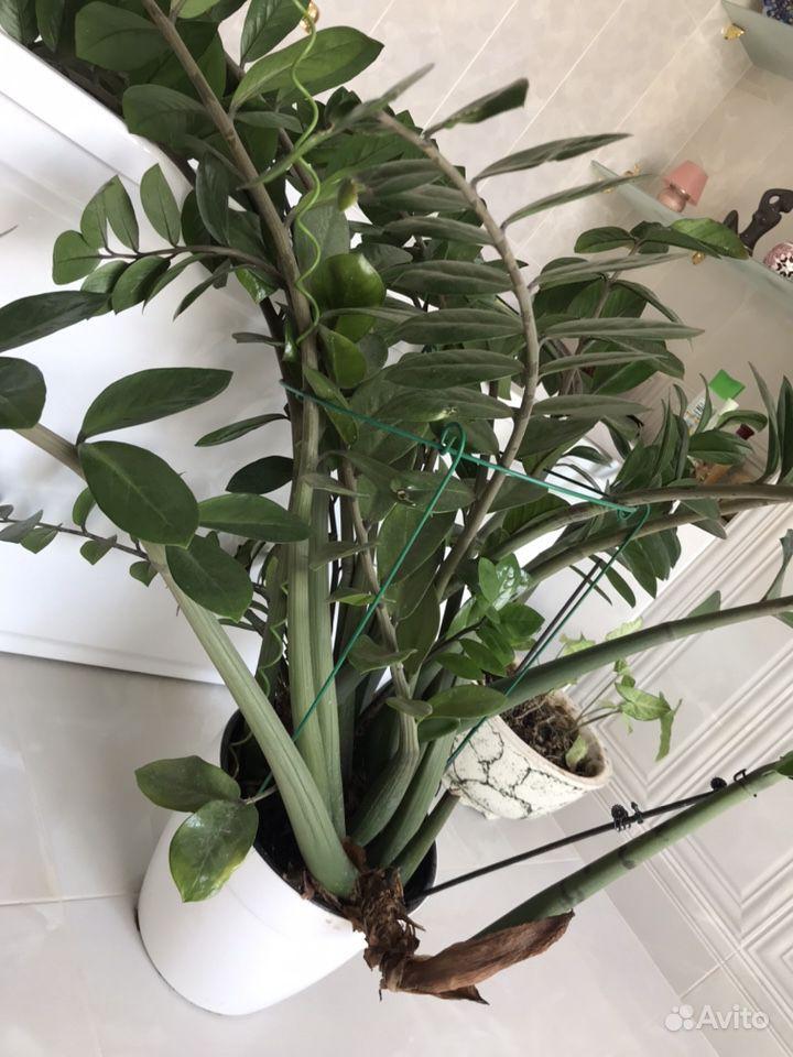 Сингониум, замиокулькас (долларовое дерево) купить на Зозу.ру - фотография № 2