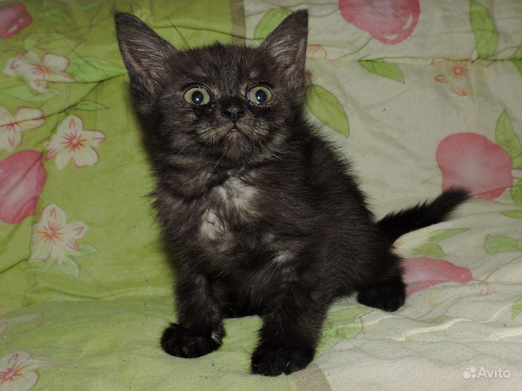котята шотландские черный дым фото характеристики оленины простой