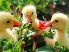 Гуси, утки, куры, бройлеры, цыплята, индюшата