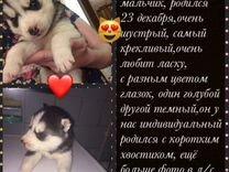 Сибирский хаски — Собаки в Чульмане