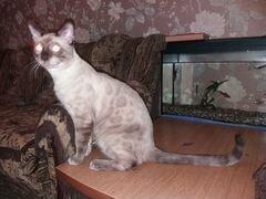 Куплю кота британца нягань объявления бмв 318i на запчасти частные объявления