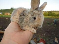 Декоративные кролики. Кролики фландр