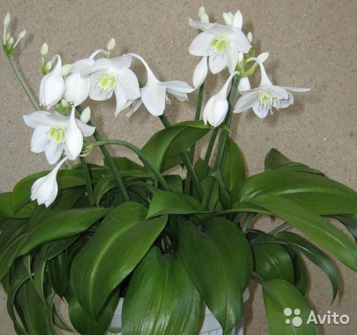 домашние цветы беленькие цветочки и тоненькие листики 864368570