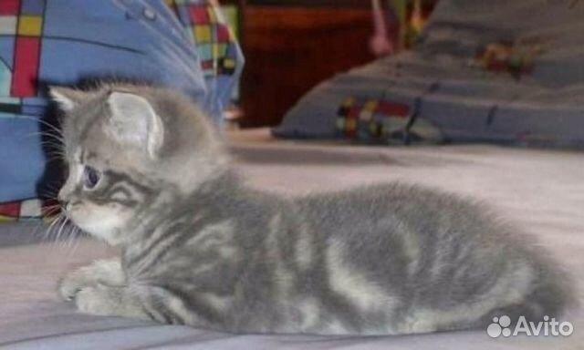ОКРАСЫ!!! - Форум о британских и шотландских кошках