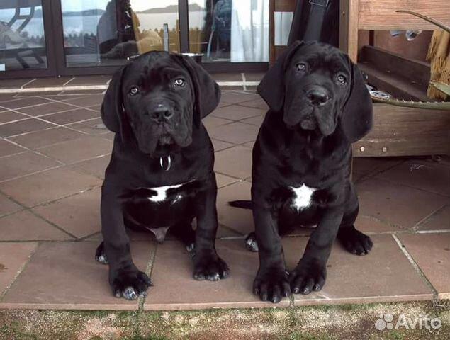 Cane Corso Vip Puppies купить продать или отдать в москве на