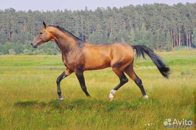 Картинки по запросу объявления о продаже лошадей