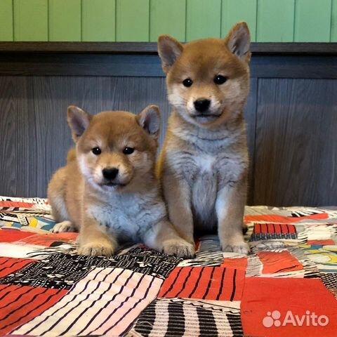 Предлагаем породистых щенков Сиба-Ину купить на Зозу.ру - фотография № 1