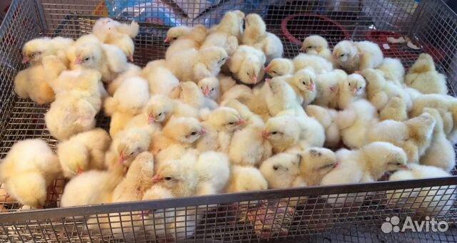 Цыплята кобб-500 89833937331 купить 1