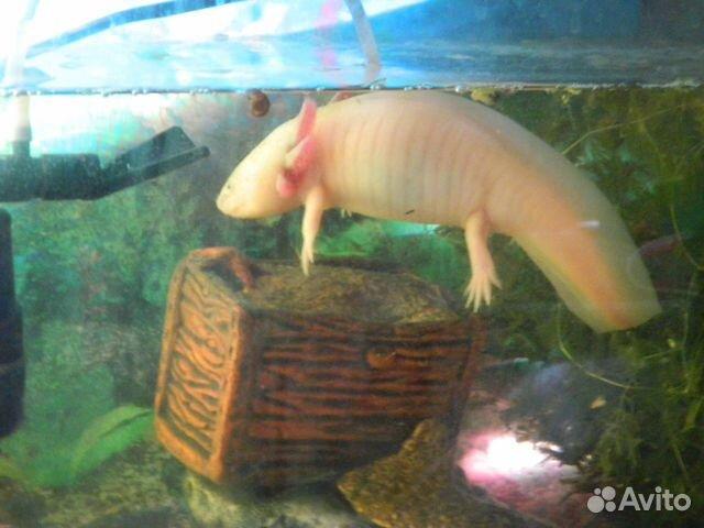 Аксолотль - водяное чудовище купить 3