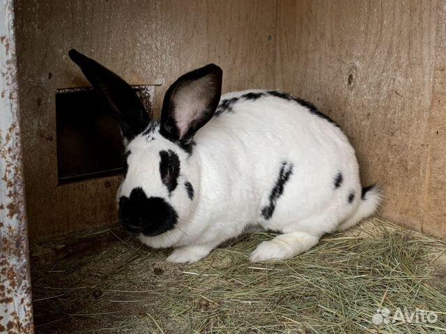 Кролики 89611918195 купить 2