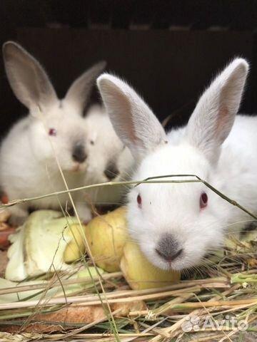 Кролик  89535421950 купить 2