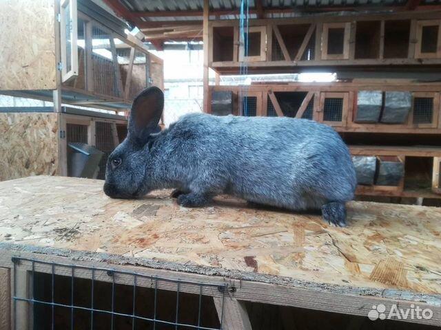 Кролики  89787432083 купить 1