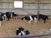 Телята бычки и тёлочки (молочные и отпоенные)
