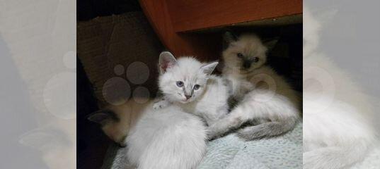 Котята купить в Ханты-Мансийском АО   Животные и зоотовары   Авито
