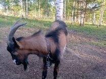 Альпийский козел