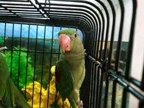 Александрийский попугай птенец