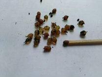 Коконы червя голландской дендробены венеты