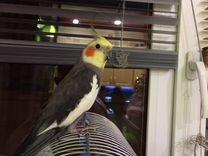 Попугай карелы