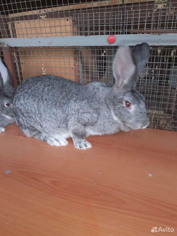 Кролики  89614994002 купить 1