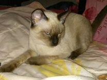 Тайский (сиамский) кот