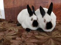Калифорнийский кролик. Племенные кролики