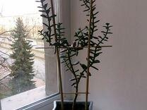 Растение в горшке 50 сантиметров