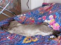 Меконгский бобтейл-котик и кошечка в добрые руки