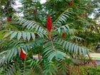 Сумах-специя и декоративное дерево