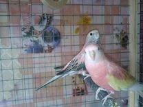 Попугаи баурки