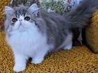 Персидское голубое серебро