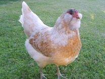 Цыплята Амераукана в Балашихе