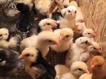 Цыплята суточные и далее